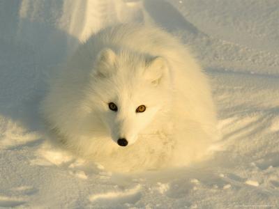 Arctic Fox, Along the Ice Edge of Hudson Bay, Manitoba, Canada