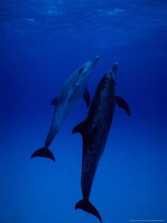 Atlantic Spotted Dolphins, Pair Swimming, Bahamas