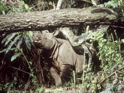 Javan Rhinoceros, Ujung Kulon, Indonesia