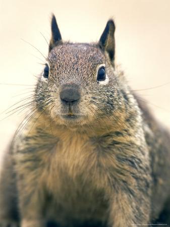Beecheys Ground Squirrel, Close up Portrait, California, USA