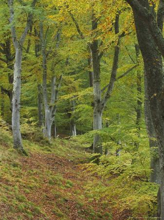 Beech Woodland in Autumn, Scotland