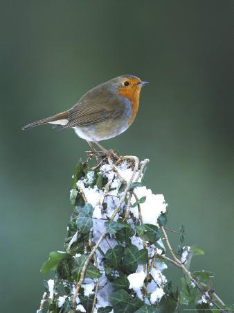 Robin on Ivy-Covered Stump in Snow, UK