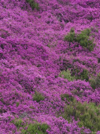 Bell Heather in Flower on Moorland, July, UK