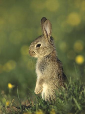 Rabbit, Youngster Standing Upright, UK