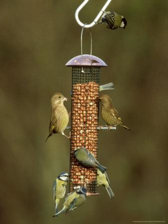 Tits and Other Garden Birds on Feeder, Winter