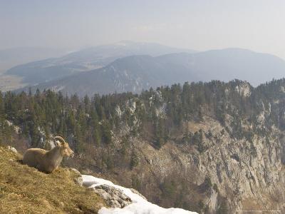 Ibex, Female Overlooking Mountains, Switzerland
