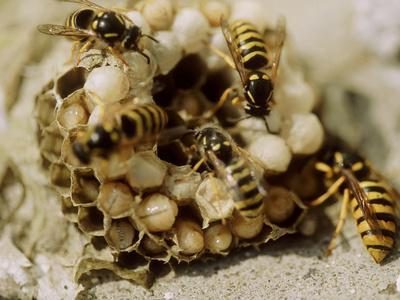 Common Wasp (Vespula Vulgaris) Attending Grubs in Nest