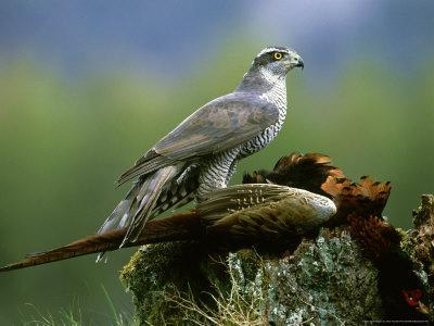 Goshawk, Feeding on Pheasant, Scotland