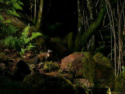 Pine Marten at Night, the Highlands, Inverness-Shire