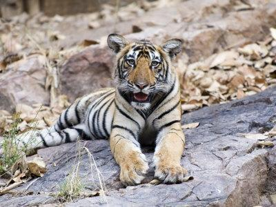 Bengal Tiger, 10 Month Old Cub, India
