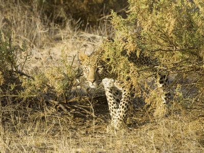 Leopard, Young Female Stalking, Kenya