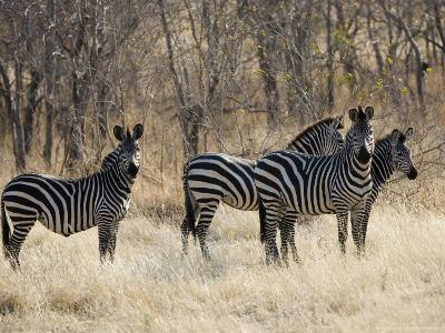 Crawshays Zebra, Small Group in Bush, Tanzania
