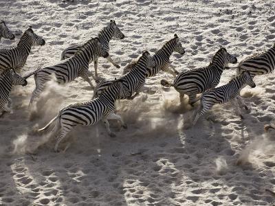 Burchells Zebra, Group from Above, Botswana