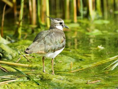 Lapwing, Adult Wading, UK