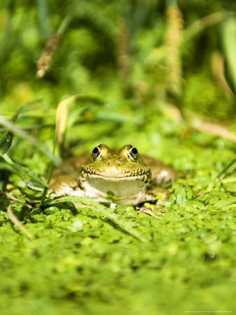 Marsh Frog, Adult, UK