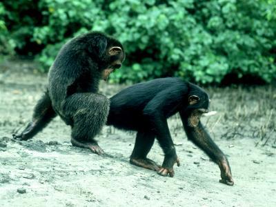 Common Chimpanzee, Mating, Africa