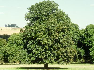 Horse Chestnut in Summer, UK
