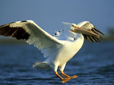 American White Pelican, Texas, USA