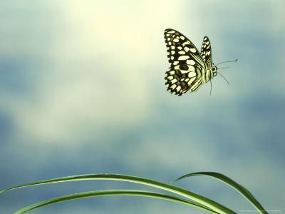 Checkered Swallowtail in Flight