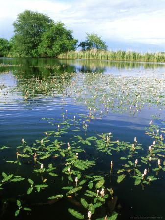 Amphibious Bistort in Pond, Bavaria