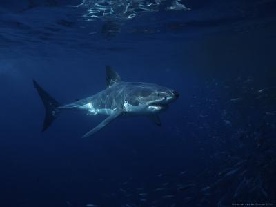 Great White Shark, Tagged, South Australia
