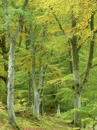 Beech Woodland in Autumn, Strathspey, UK