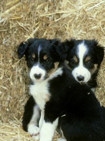 Border Collie Puppies, Sat Amongst Straw Bales