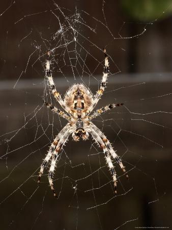 Garden Spider on Web from Below, Middlesex, UK