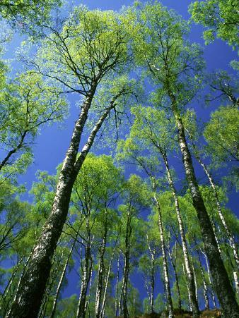 Silver Birch, Trees in Early Spring, Scotland, UK