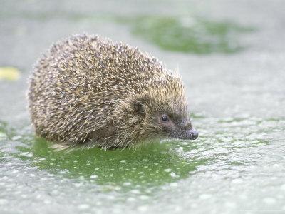 Hedgehog, UK