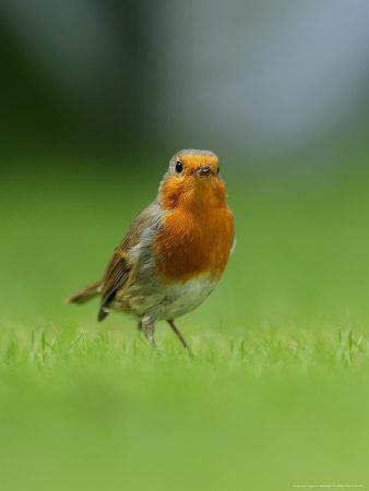 Robin, Standing, Hampshire, UK