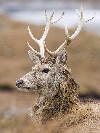 Highland Red Deer, Portrait of Stag, the Highlands, Scotland