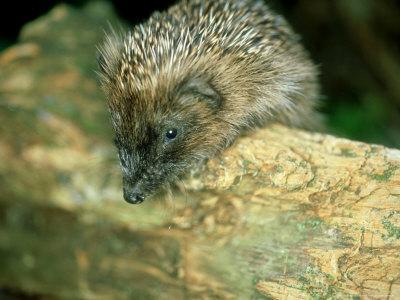 Hedgehog, Aylesbury, UK