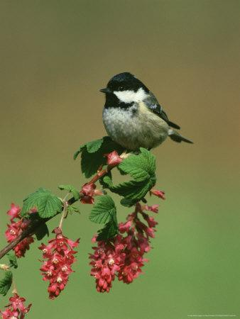Coal Tit, Perched on Wild Currant Blossom, UK