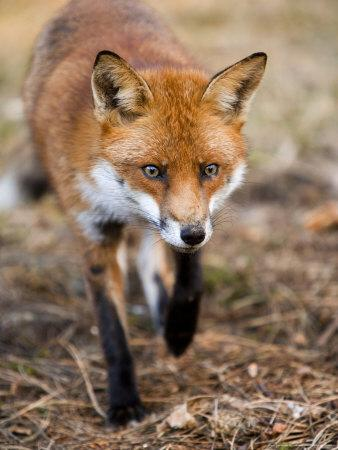 Red Fox, Fox Walking Head-On Through Pine Needles and Leaf Litter, Lancashire, UK