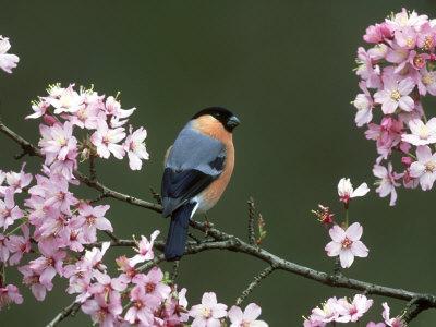 Bullfinch, Pyrrhula Pyrrhula, Male, Feeding on Cherry Blossom, UK