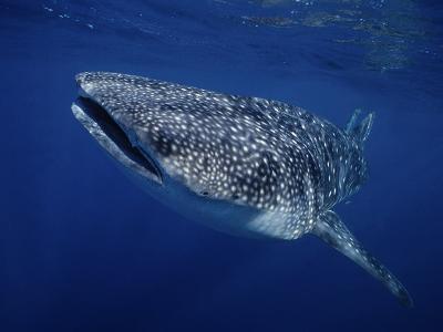Whale Shark, Swimming, Australia