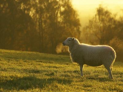 Sheep in Field on Cold Morning, Scotland