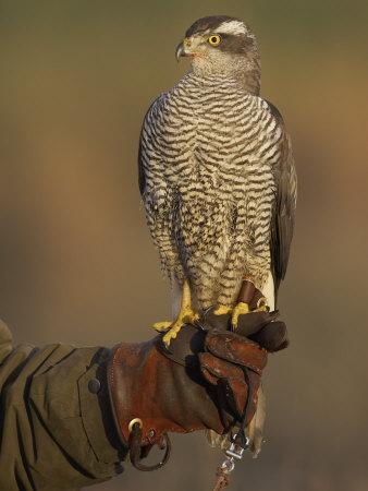 Goshawk, Adult Perched on Falconers Glove, Scotland