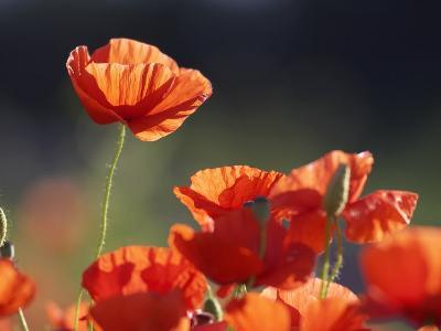 Common Poppy, Red Petals Backlit in Early Morning Light, Scotland