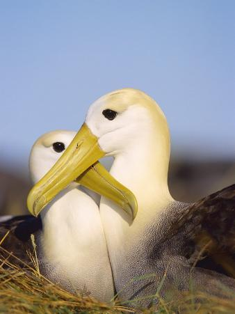 Waved Albatross, Pair Bonding, Espanola Island, Galapagos