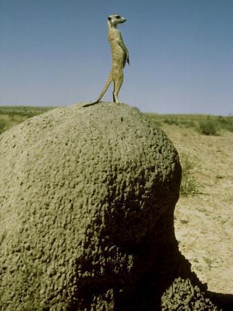 Meerkat, Guard Looking, Kalahari