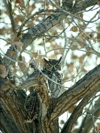 Great Horned Owl in Tree, NM