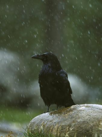 Raven, Perched on Rock in Falling Snow, Yellowstone National Park, USA