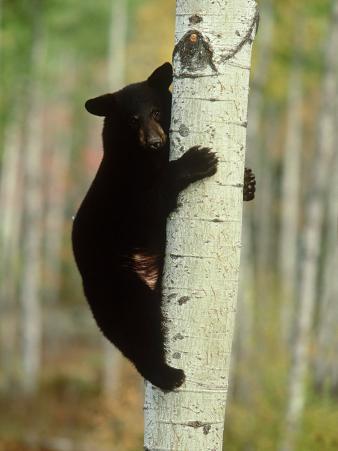 Black Bearursus Americanuscub Sat up Tree, Autumn Foliage