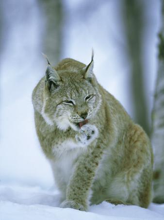 European Lynx, Female Grooming Foot, Norway