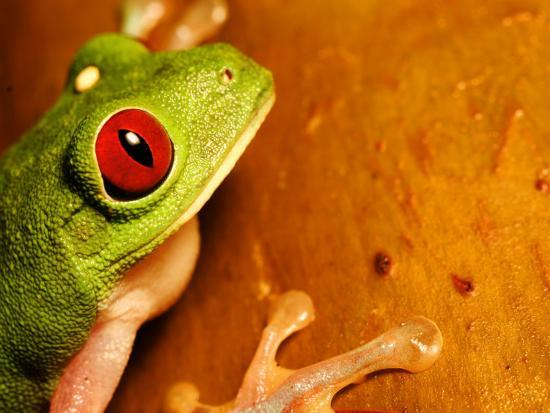 Red Eyed Tree Frog Close Up Of Head And Front Feet Costa