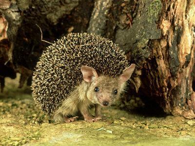 Long-Eared Hedgehog, England, UK