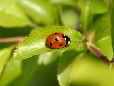 7-Spot Ladybird, Basking on Hawthorn Leaf, Middlesex, UK