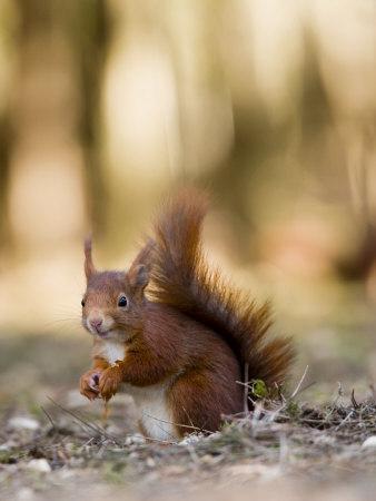 Red Squirrel, Sat on Ground in Leaf Litter, Lancashire, UK